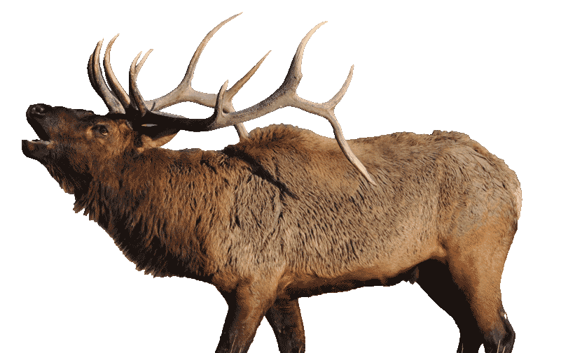 Bugling Elk - can be heard every fall throughout the valley of Jackson Hole