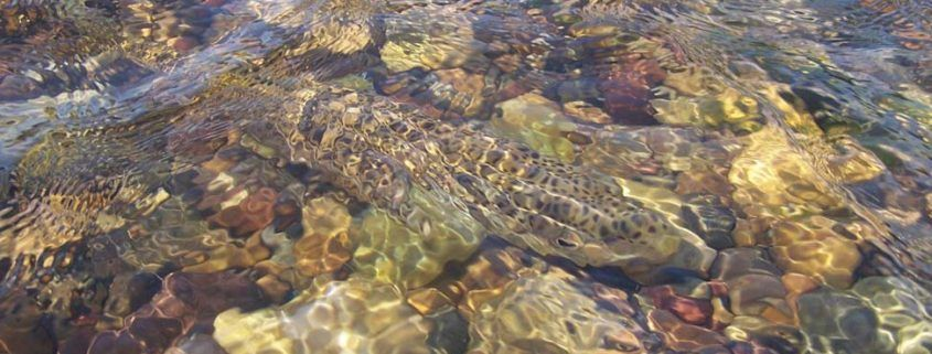 South Fork Brown trout